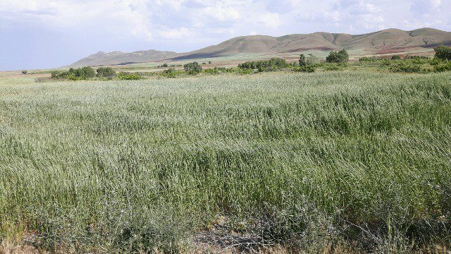 نارضایتی کشاورزان بیجاری از نحوه پرداخت بیمه محصولات کشاورزی+  عکس